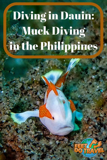 Scuba Diving in Dauin, Negros is THE place for macro and muck diving in the Philippines. If you love macro, you will find many rare and unusual creatures. For coral reef lovers there is Apo Island where there are schooling fish and turtles. Feet Do Travel show you diving in Dauin; muck diving in the Philippines #underwaterphotography #muckdiving #macrodiving #macro #philippines #itsmorfuninthephilippines #travel #travelblog #travelblogger #travelling #travelguides