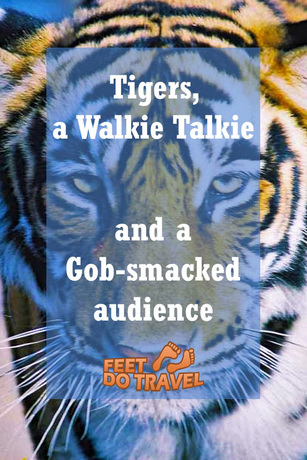 Want to see tigers in the wild? The Feet's encounter was gob-smacking!
