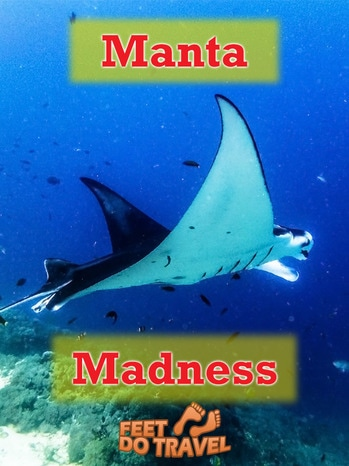 Seeing manta rays in their natural habitat is a bucket list experience for many, but you don't have to be a scuba diver to see them! We snorkelled and Scuba Dived with them and were able to watch their habits - it was madness, Manta Madness!
