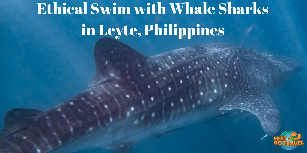 Ethical swim with whale sharks in Leyte, Philippines, best place to see whale sharks in the Philippines, Natural Whale Shark encounter, best place for whale shark watching in the Philippines Feet Do Travel