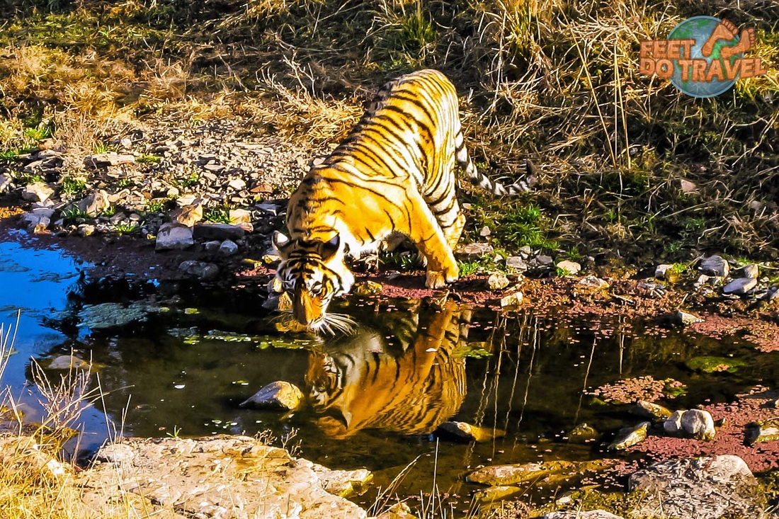 Tiger Safari in Ranthamborne National Park, Rajasthan, India, Feet Do Travel